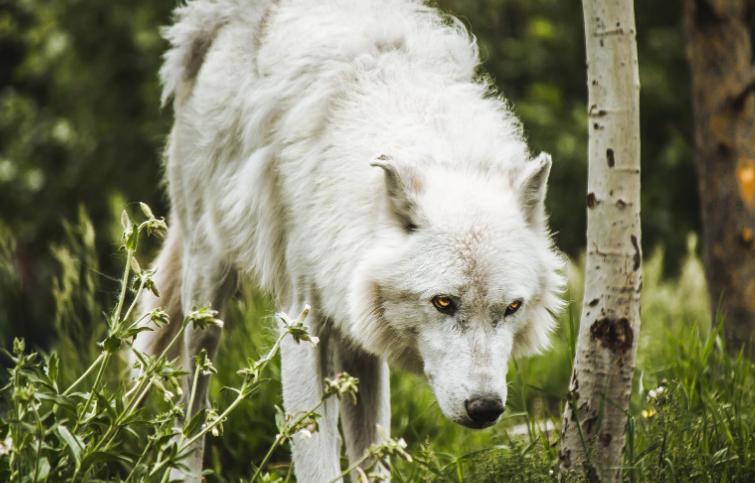 オオカミのような犬の画像