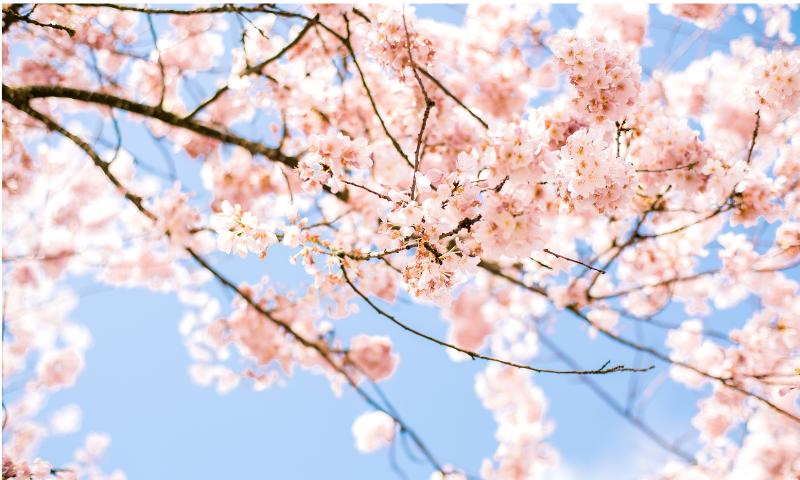 7分咲きの桜の画像