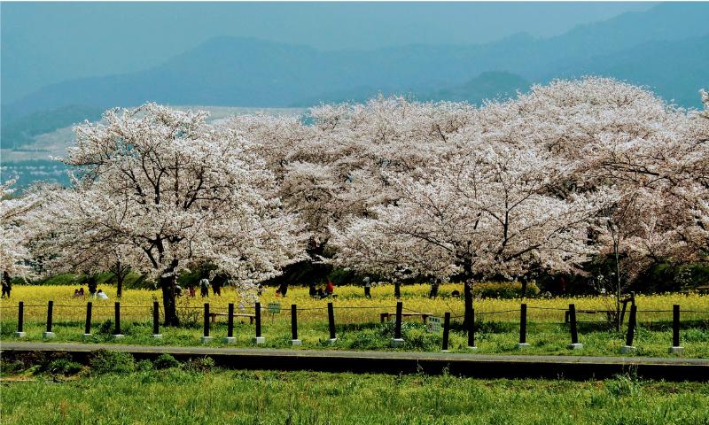 満開の桜の木々の画像