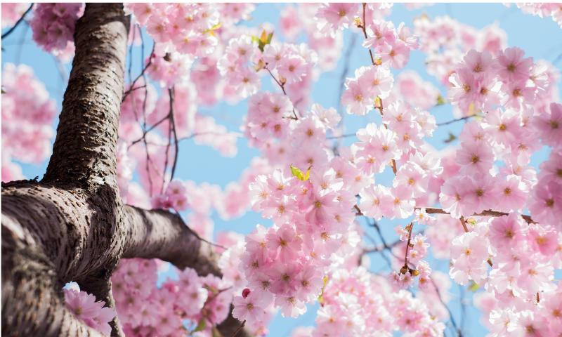 桜の枝分かれした画像