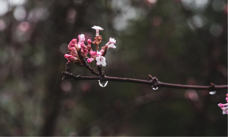 桜のつぼみの画像