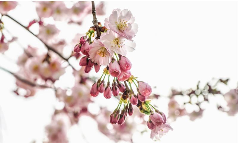 綺麗な桜の花の画像